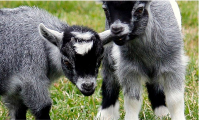 baby goats in a field