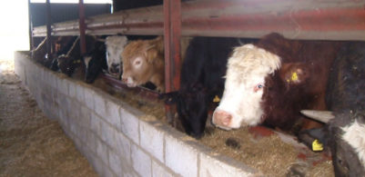 cows eating inside a barn