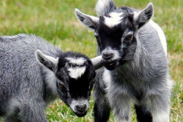 two baby goats in a field of green grass