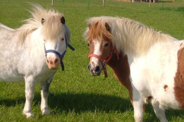 two ponies in a paddock