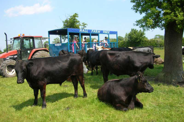 black cows in field with tractor ride in background