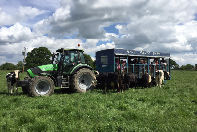 tractor ride with cows nearby